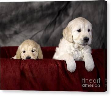 Golden Retriever Puppies Canvas Print by Angel  Tarantella