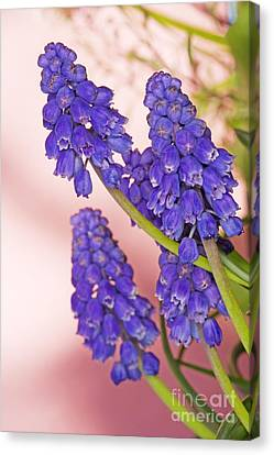 Grape Hyacinth Muscari Armeniacum Canvas Print by Cheryl Power