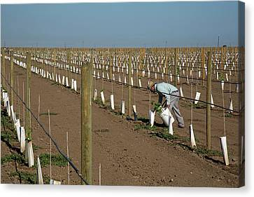 Grape Vines Being Tended In Vineyard Canvas Print by Jim West