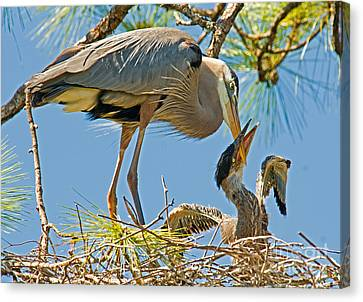 Great Blue Heron Adult Feeding Nestling Canvas Print by Millard H. Sharp