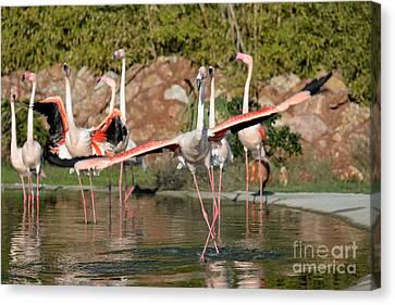 Greater Flamingos Canvas Print by George Atsametakis