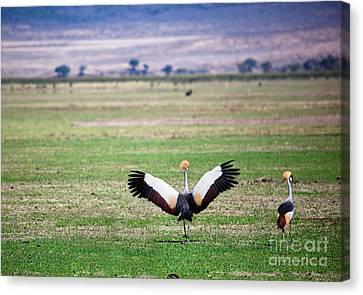 Grey Crowned Crane. The National Bird Of Uganda Canvas Print by Michal Bednarek