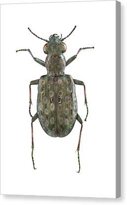 Ground Beetle Canvas Print by F. Martinez Clavel