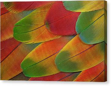 Harlequin Macaw Wing Feather Design Canvas Print by Darrell Gulin