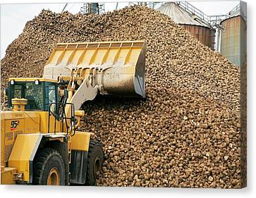 Harvested Sugar Beets Canvas Print by Jim West