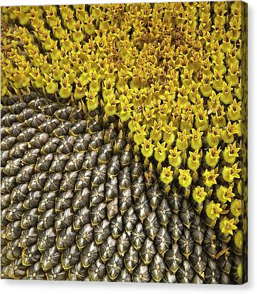 Helianthus Sunflower Seeds Close Up Canvas Print by Mark Sykes