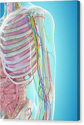 Human Arm Anatomy Canvas Print by Sciepro