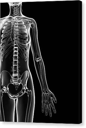Human Skeleton Canvas Print by Sebastian Kaulitzki