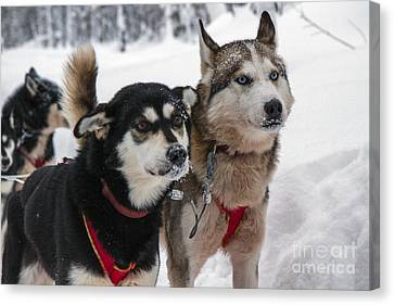 Husky Dogs Pull A Sledge  Canvas Print by Lilach Weiss