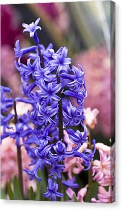 Hyacinth Garden Canvas Print by Frank Tschakert