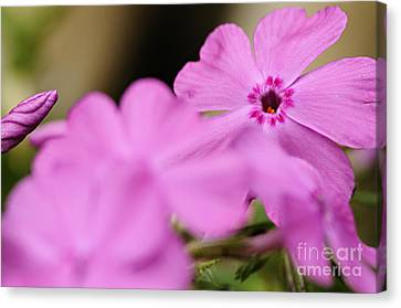 In The Pink Canvas Print by Larry Ricker