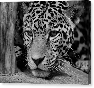 Jaguar In Black And White II Canvas Print by Sandy Keeton