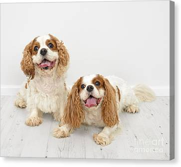 King Charles Spaniel Dogs Canvas Print by Amanda And Christopher Elwell