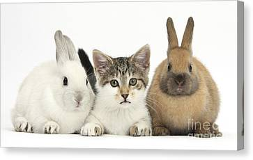 Kitten And Baby Rabbits Canvas Print by Mark Taylor