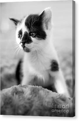 Kitten Dreaming Canvas Print by Iris Richardson