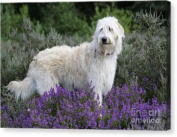 Labradoodle Dog Canvas Print by John Daniels