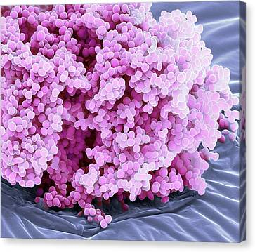 Lactococcus Lactis Bacteria Canvas Print by Steve Gschmeissner