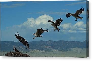 Landing Pattern Of The Osprey Canvas Print by Ernie Echols