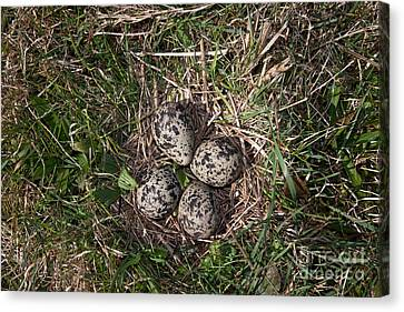 Lapwing Nest Canvas Print by Marcus Bosch