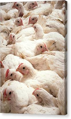 Large Number Of Hens In A Barn Canvas Print by Aberration Films Ltd