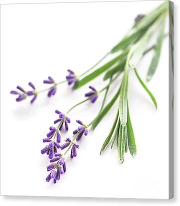 Lavender Canvas Print by Elena Elisseeva