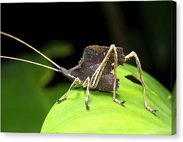 Leaf Mimic Bush-cricket Canvas Print by Dr Morley Read