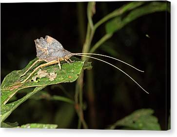 Leaf Mimic Katydid Canvas Print by Dr Morley Read