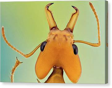 Leafcutter Ant Canvas Print by Nicolas Reusens
