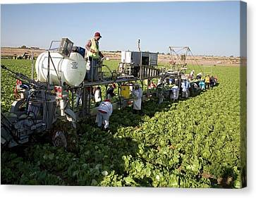 Lettuce Harvest Canvas Print by Jim West