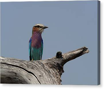 Lilac-breasted Roller Coracias Caudatus Canvas Print by Panoramic Images