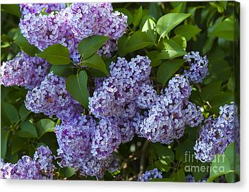 Lilac Canvas Print by Svetlana Sewell