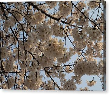 Low Angle View Of Cherry Blossom Canvas Print by Panoramic Images