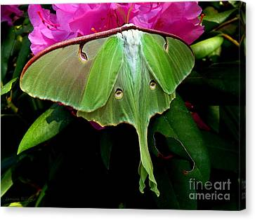 Lady Luna Moth Canvas Print by Janine Riley