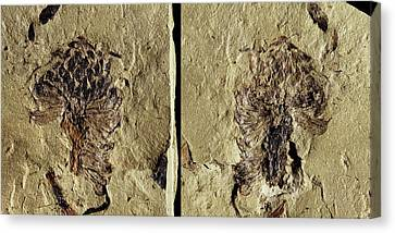 Male Conifer Cone Fossil Canvas Print by Gilles Mermet