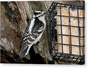 Male Hairy Woodpecker Canvas Print by Linda Freshwaters Arndt