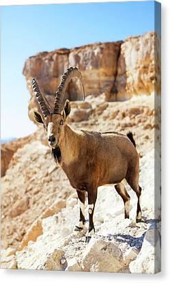 Male Nubian Ibex Canvas Print by Photostock-israel
