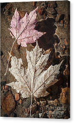 Maple Leaves In Water Canvas Print by Elena Elisseeva
