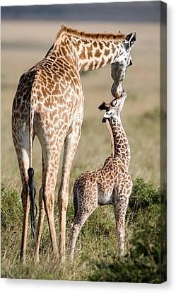 Masai Giraffe Giraffa Camelopardalis Canvas Print by Panoramic Images