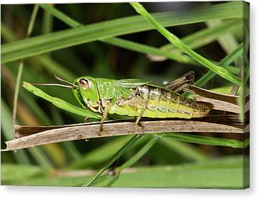 Meadow Grasshopper Canvas Print by Bob Gibbons