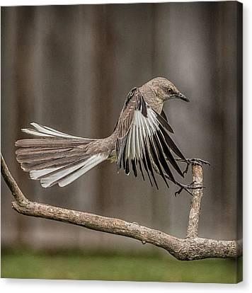 Mockingbird  Canvas Print by Rick Barnard
