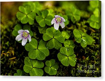 Mountain Woodsorrel Canvas Print by Thomas R Fletcher