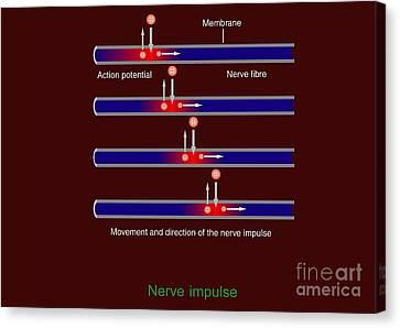 Nerve Impulse Propagation, Diagram Canvas Print by Francis Leroy, Biocosmos