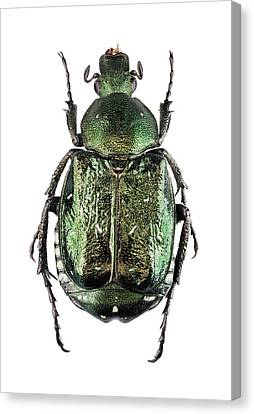 Noble Chafer Canvas Print by F. Martinez Clavel