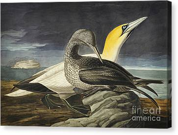 Northern Gannet Canvas Print by Celestial Images
