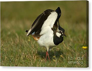 Northern Lapwing Canvas Print by Helmut Pieper