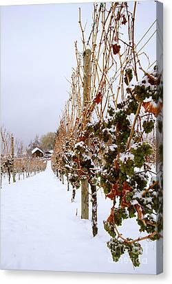 Okanagan Valley Vineyards In Winter Canvas Print by Kevin Miller