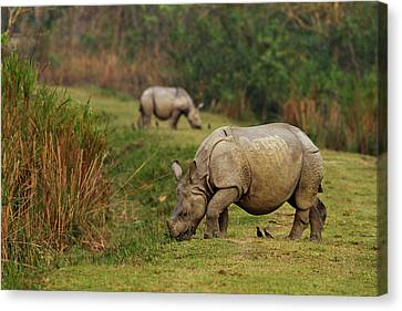 One-horned Rhinoceros Feeding Canvas Print by Jagdeep Rajput
