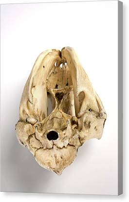 Opossum Skull Canvas Print by Ucl, Grant Museum Of Zoology