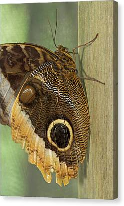 Owl-eye Butterfly (caligo Canvas Print by William Sutton