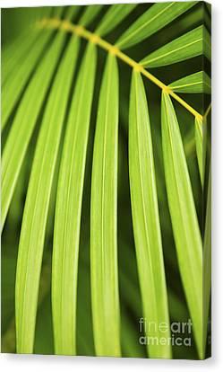 Palm Tree Leaf Canvas Print by Elena Elisseeva